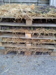 strowijn -druiven op stro